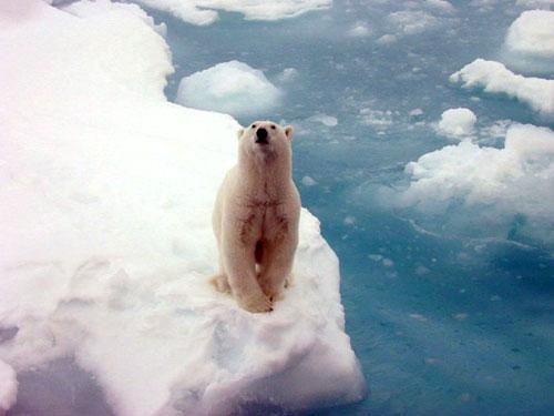 PolarbearNOAA