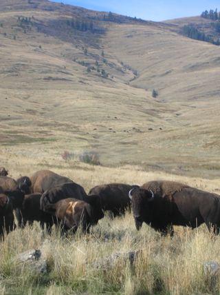 10-14-10 bison